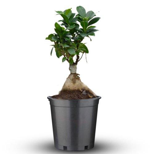 Small Ficus Microcarpa Bonsai